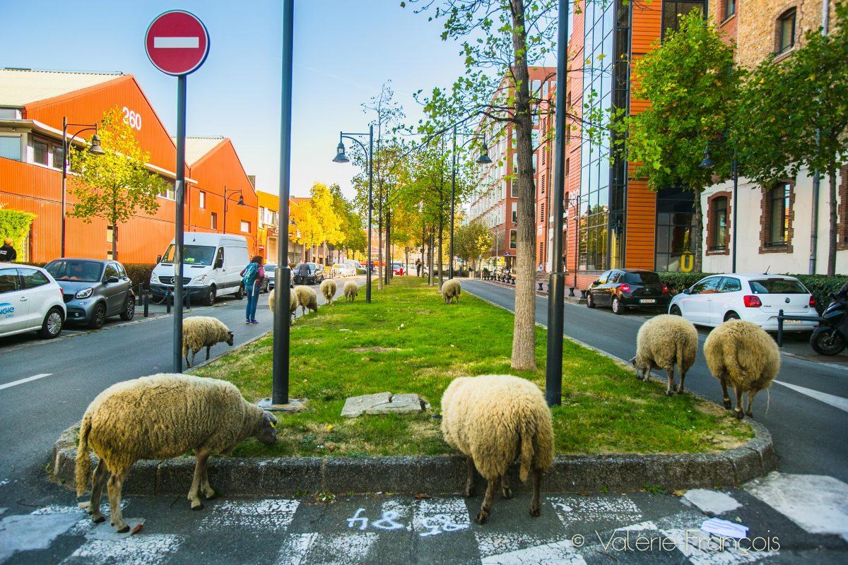 Au pied des bureaux, en pleine ville, les moutons paissent accompagnés de Guillaume et Julie, bergers urbains.