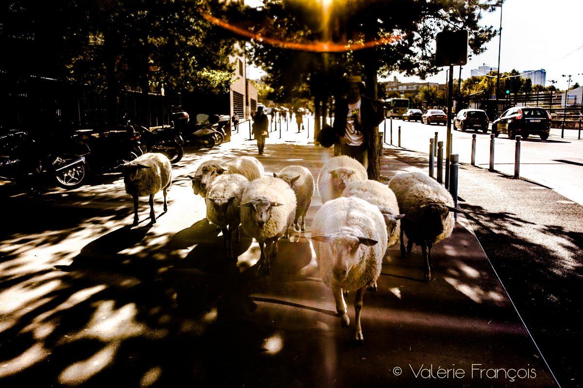 """""""Le mouton permet de tempérer un peu ce rythme effréné auquel nous pousse la ville"""", explique Guillaume co-fondateur des bergers urbains."""