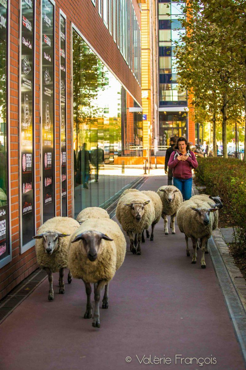 Au pied des bureaux, en pleine ville, les moutons paissent, surveillés par Guillaume et Julie, bergers urbains.