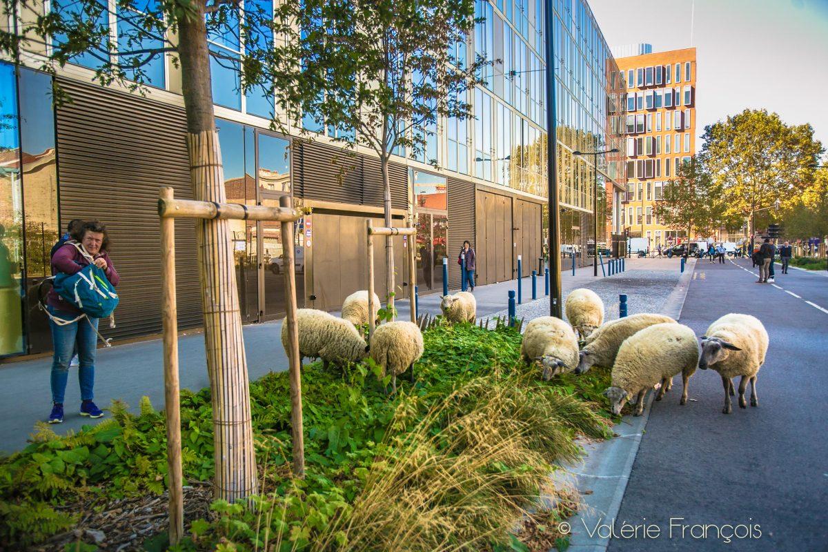 Aujourd'hui le troupeau des bergers urbains compte une soixantaine de brebis nourrit 100% à l'herbe.