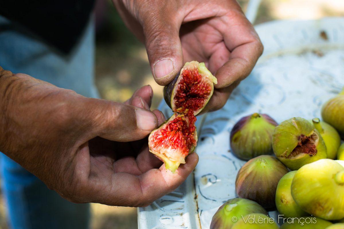 Dans le jardin, il y a un magnifique figuier qui à âge du jardin. On se partage les figues avant que les étourneaux ne les mangent.