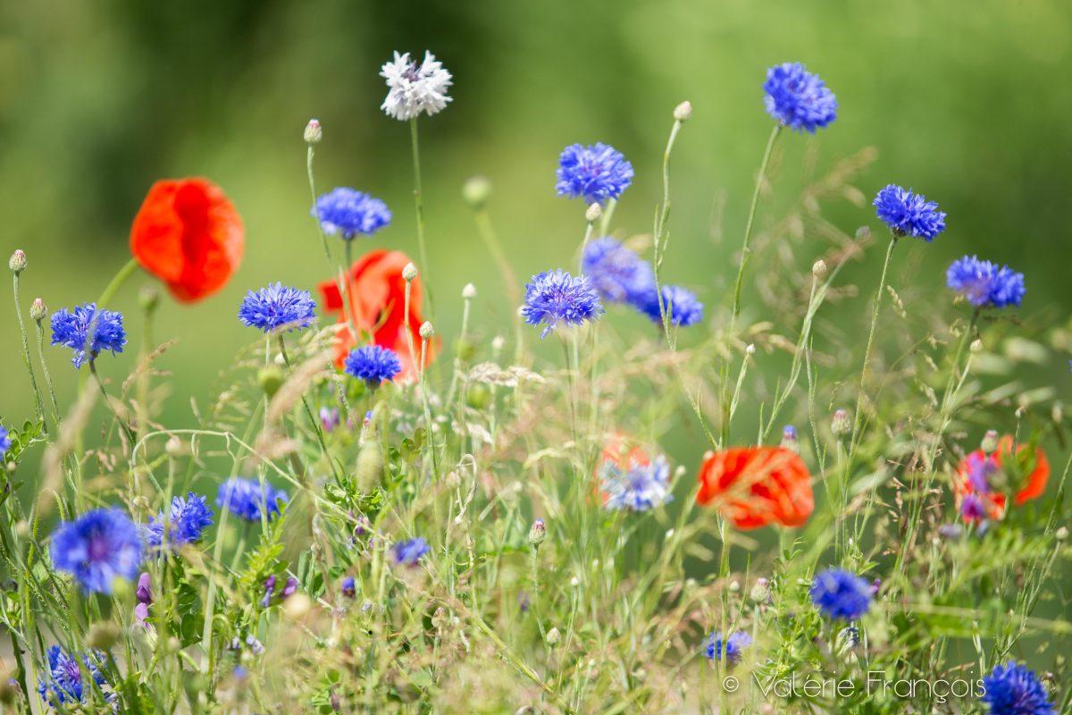 Pour nourrir les abeilles en ville, plantez des fleurs mellifères c'est-à-dire des fleurs qui produisent du nectar et du pollen de qualité pour les abeilles.