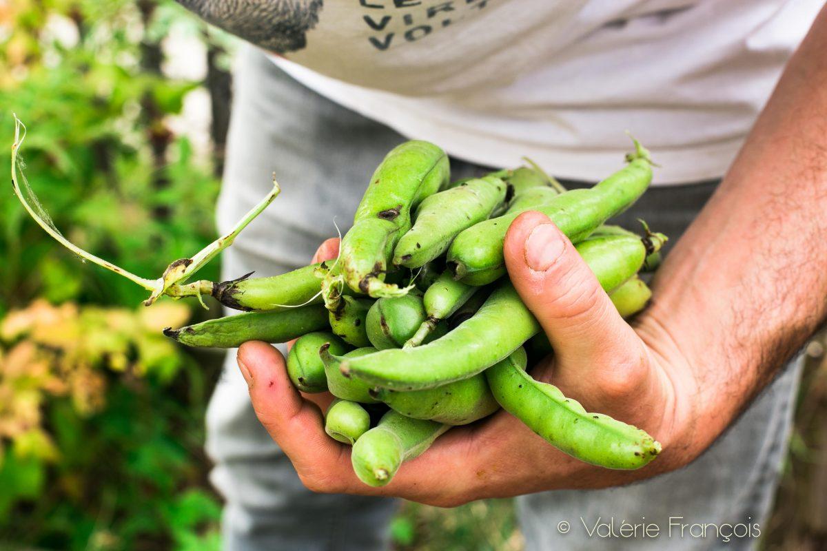 Fabrice produit aussi des légumes comme les haricots ou les petits pois.