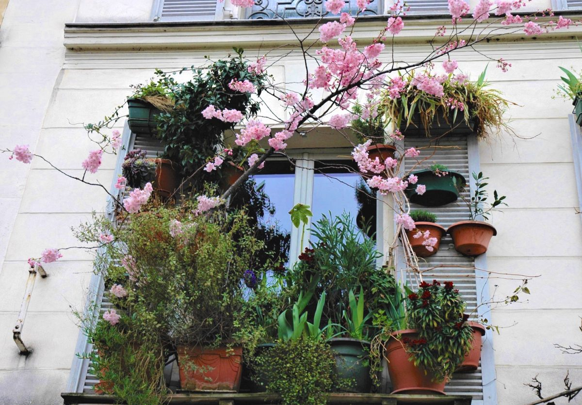végétations Paris : sur le bord de ma fenêtre, j'ai un mimosa, un jasmin, un rosier, un laurier rose, un albizia, une bignone, une sauge, des iris hybrides, de la glycine…j'ai même mis un cerisier! Il fleurit tous les ans.