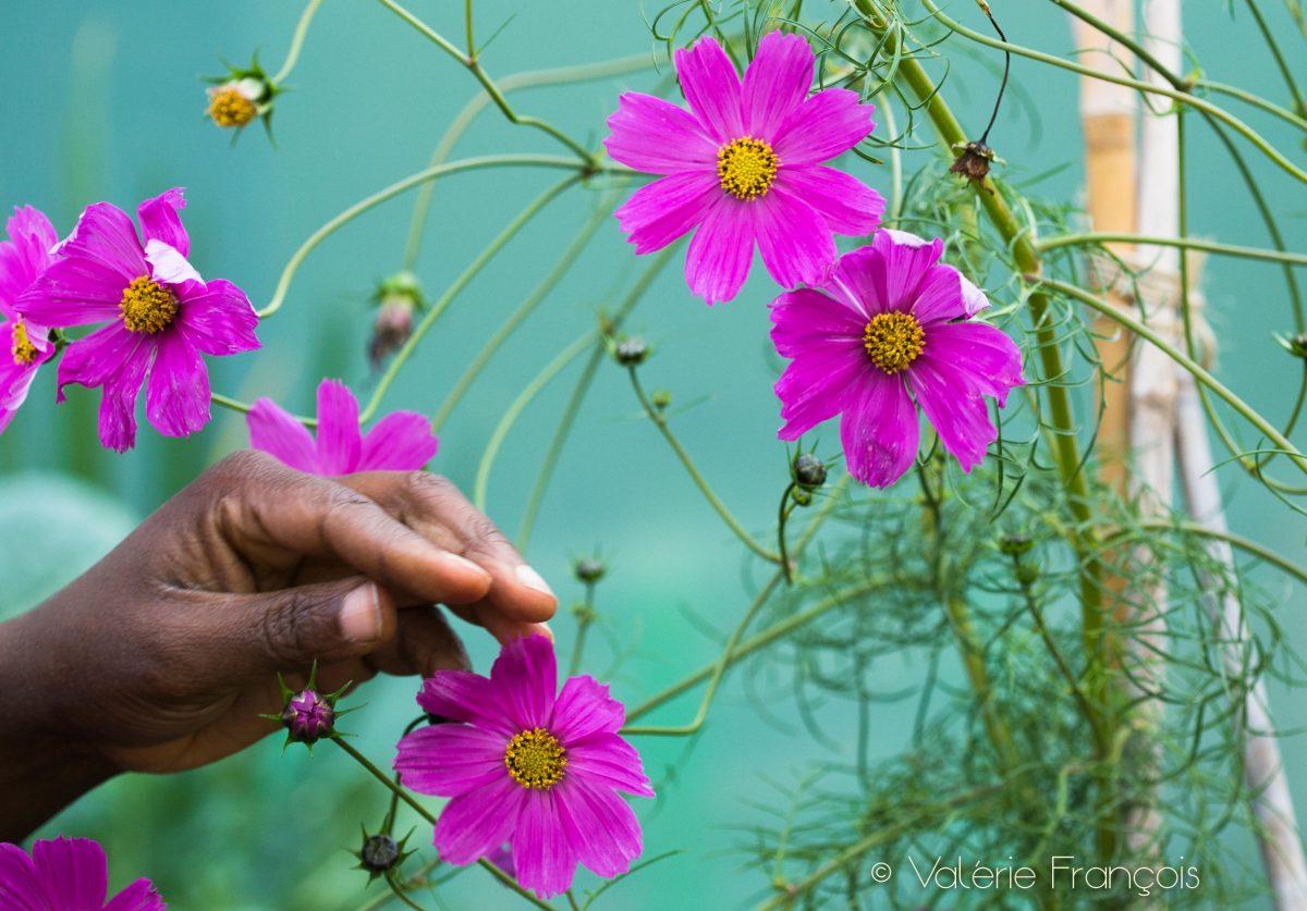 Fleurs de cosmos dans le jardin pédagogique de la maison de la famille