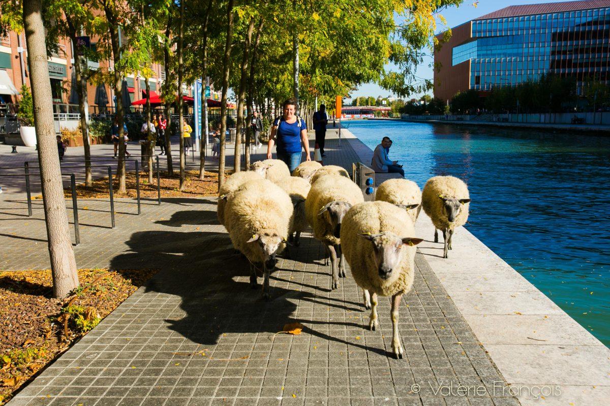 """""""Le bruit de la ville ne les gêne pas. Les moutons marchent très bien sur les trottoirs, ils ne sont plus du tout perturbés. Ils préfèrent se promener en ville que rester dans une étable. Ce qui est le commun d'un mouton aujourd'hui"""", affirme Julie, bergère urbaine."""