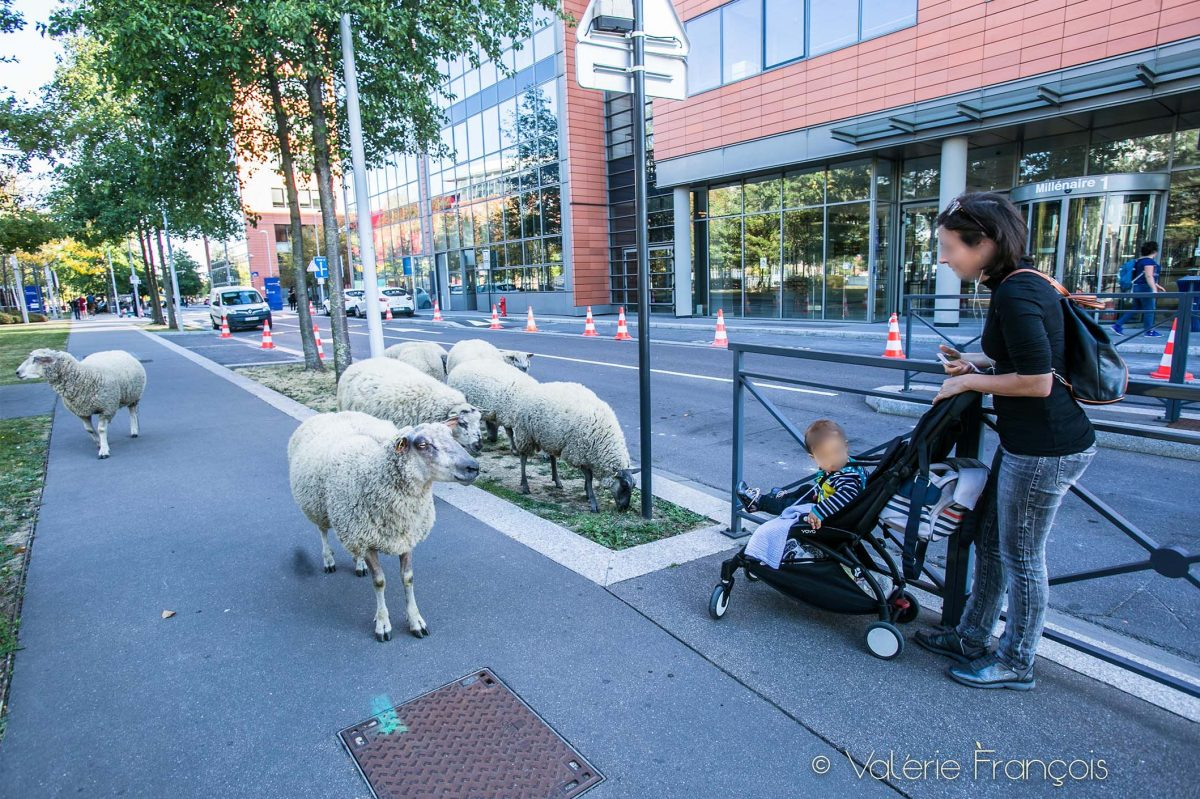 Lorsque les bergers urbains et leur troupeau passent, les voitures ralentissent, certains sortent leur smartphone et prennent une photo, d'autres s'approchent avec la folle envie de les caresser.