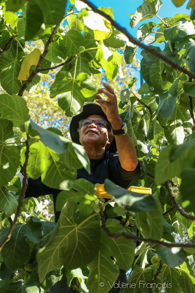 André dans le figuier du jardin partagé à Meudon-la-Forêt
