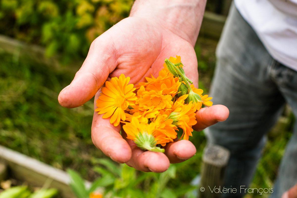 Le souci est une jolie fleur qui donne de jolies couleurs aux plats du restaurant.