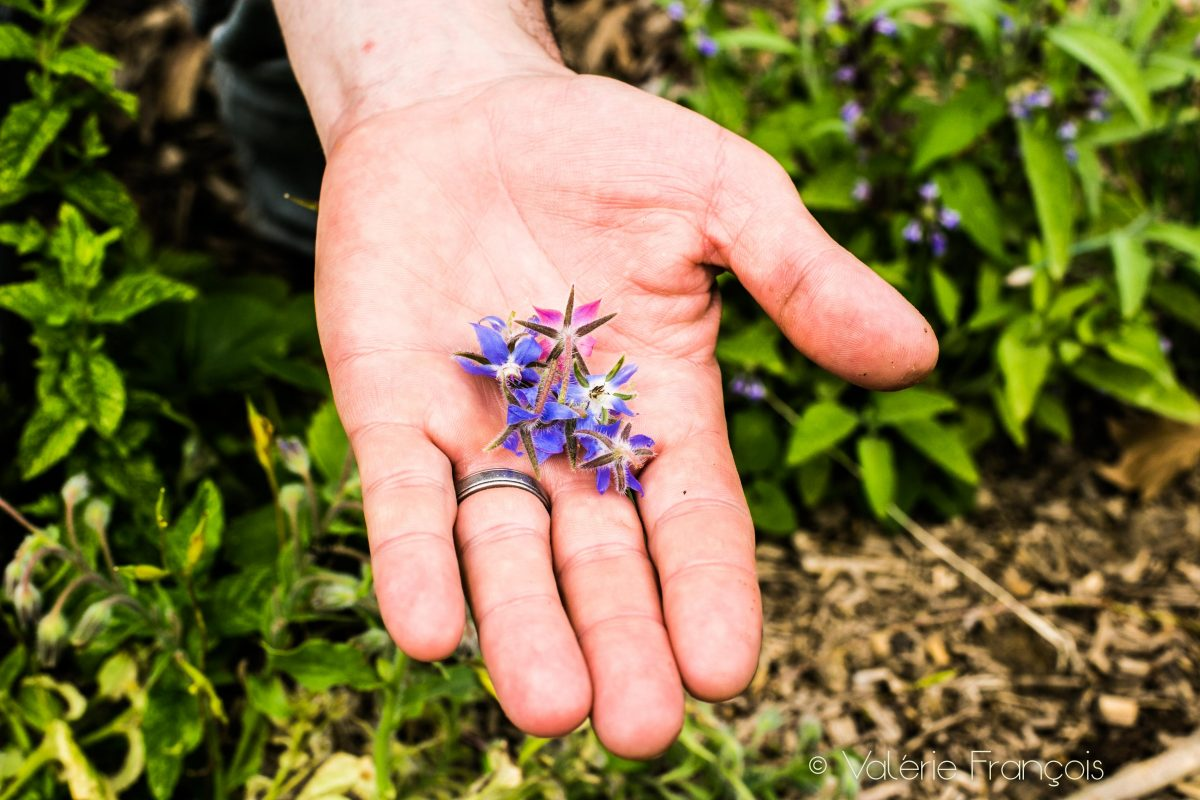 Fabrice Mury a planté une trentaine de variétés d'aromates dans son potager dont la bourrache.