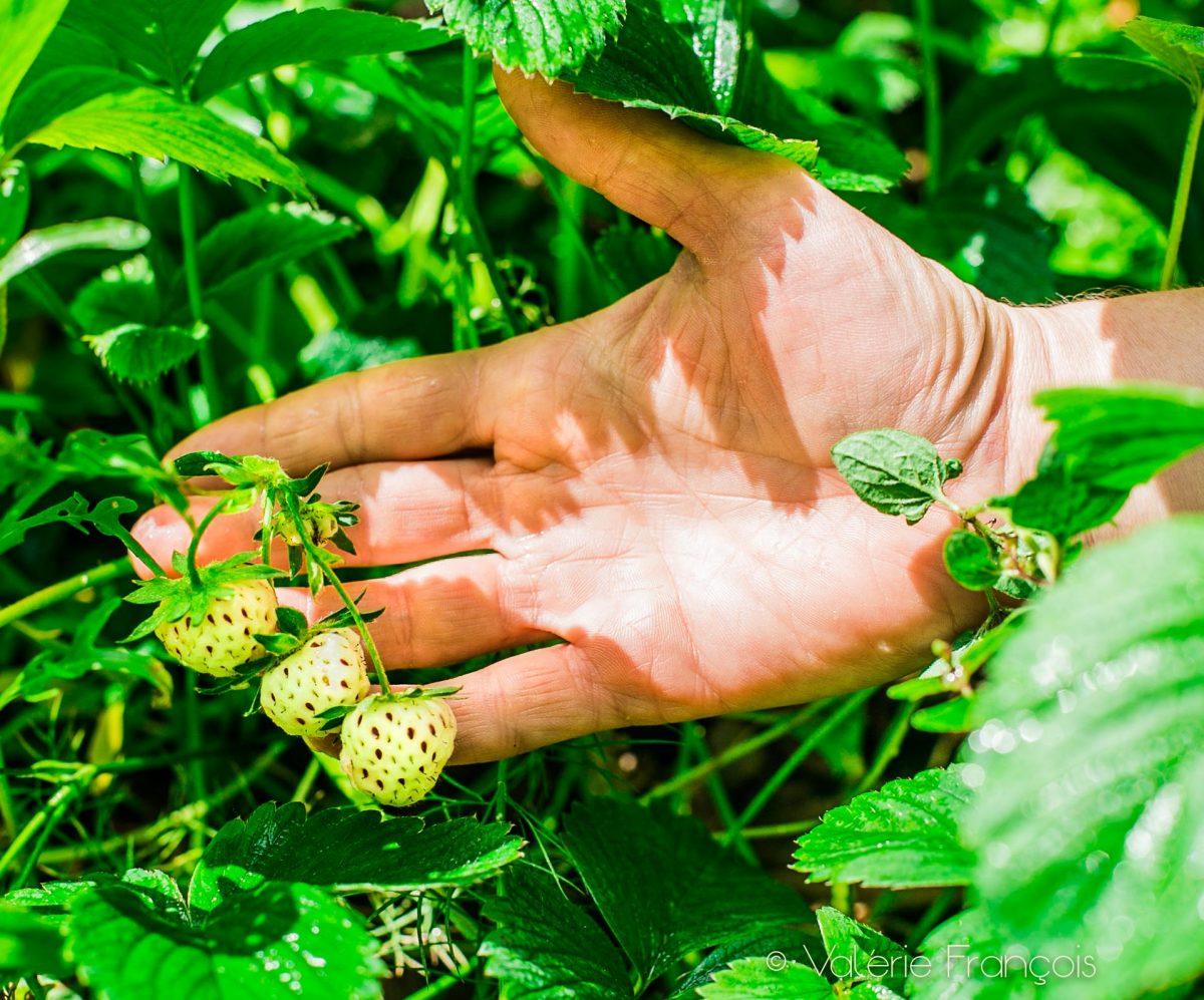 Les fraises blanches sont des fraises très anciennes qui a maturité sont roses très claires et ont un goût délicat entre la poire et l'ananas. Elles sont arrivées d'Amérique au XVIème siècle et ont été mélangées génétiquement à la fraise des bois afin de donner la belle fraise rouge que l'on connaît tous aujourd'hui.