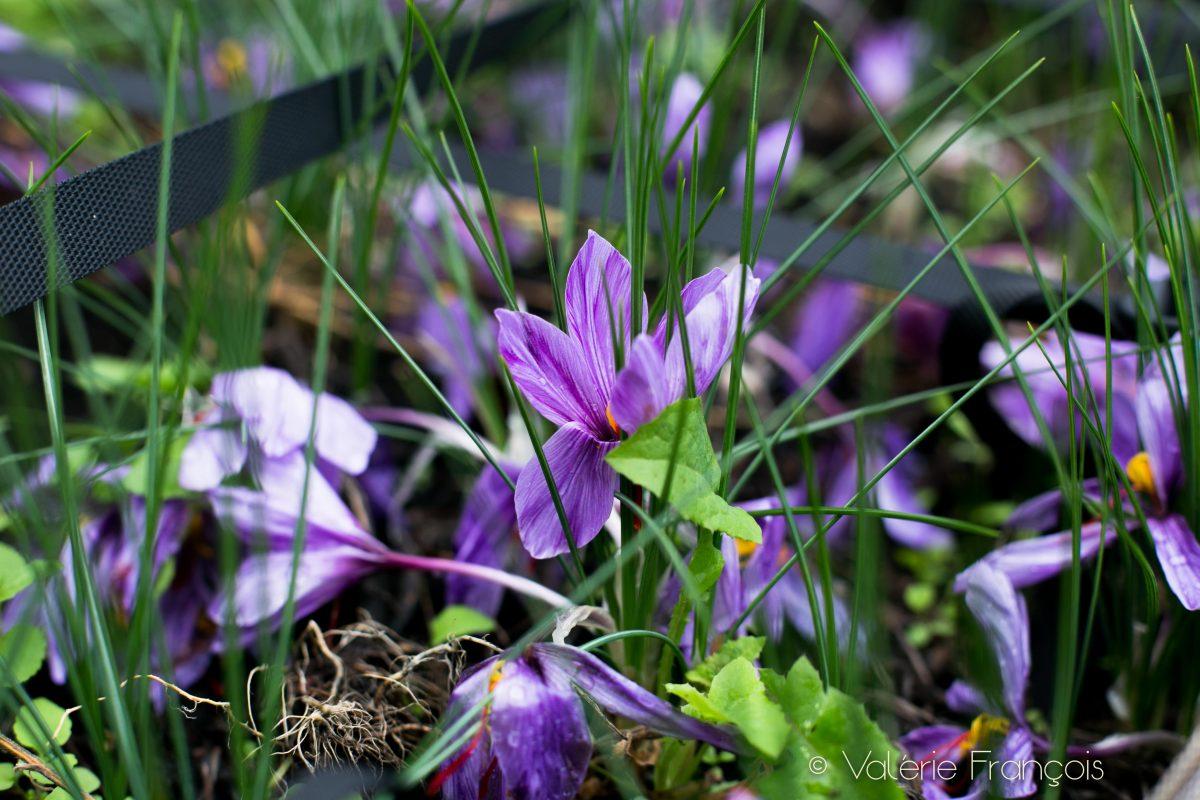 Le safran est une fleur violette délicate : le crocus sativus linnaus.