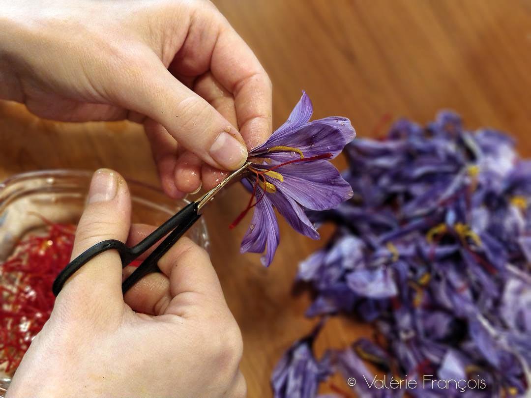 Les pistils de la fleur sont coupés à l'aide d'un petit ciseau