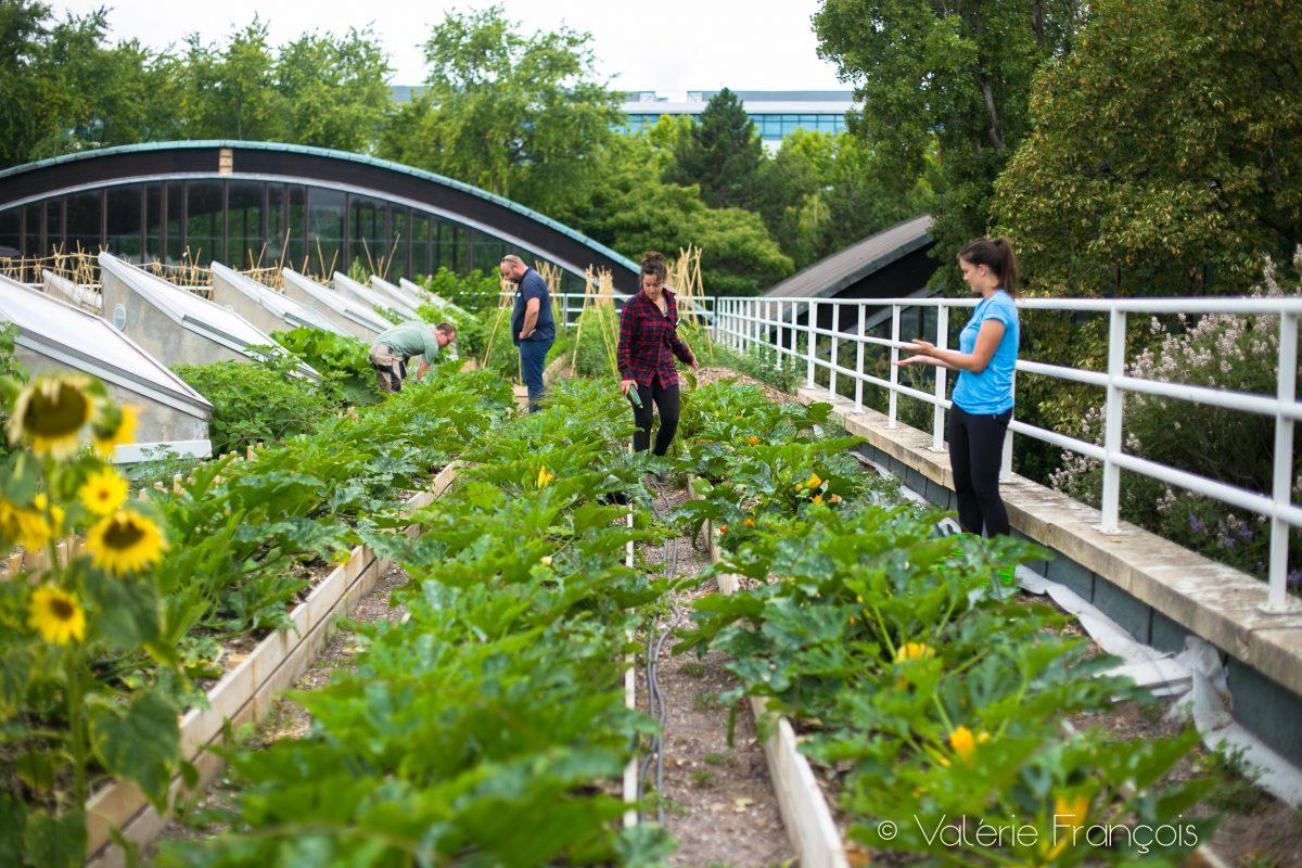 Récolte à la ferme urbaine Suzanne